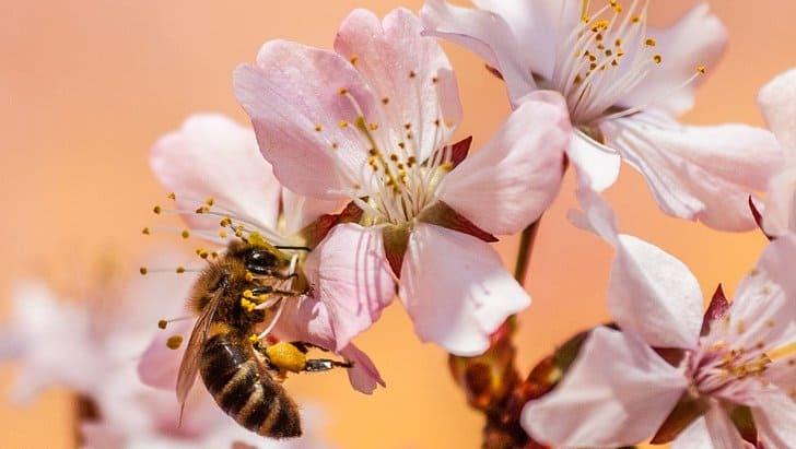 lebah madu mengambil nektar bunga
